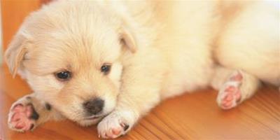 狗睡覺抽搐是怎麼回事 身體鈣質等營養缺乏