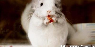 龍貓不吃主糧是否影響健康 必須餵食主糧
