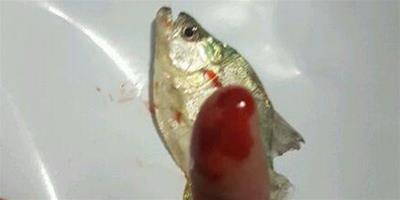 把食人魚當寵物魚養 被咬一口才知道厲害!