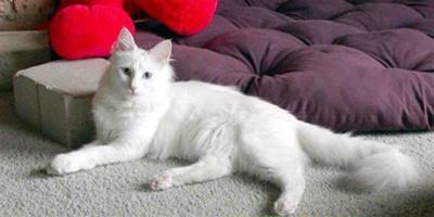 貓咪品種之土耳其梵貓