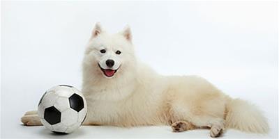 薩摩耶犬的玩具管理小技巧